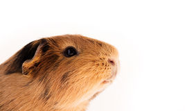 Red guinea pig Royalty Free Stock Photos