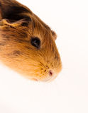 Red guinea pig Royalty Free Stock Photography