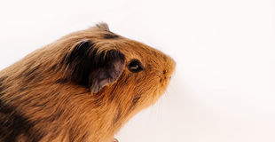 Red guinea pig Stock Images