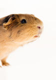 Red guinea pig Stock Photos