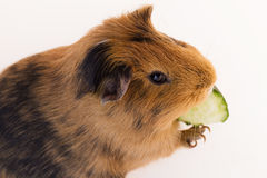 Red guinea pig Royalty Free Stock Images