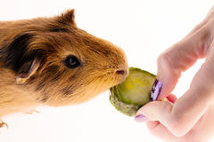 Red guinea pig Stock Image