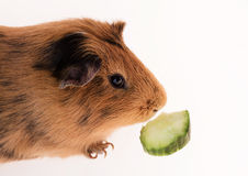 Red guinea pig Royalty Free Stock Image
