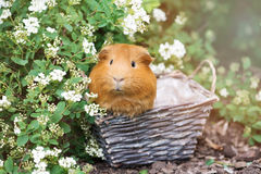 Red guinea pig posing outdoors in a basket Royalty Free Stock Images