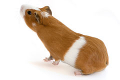 Red guinea pig sniffing on white background. Red guinea pig looking up on white background royalty free stock photos