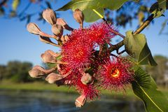 Red gum eucalyptus tree flowers. Red flowering gum tree eucalyptus tree Australian native with unopened buds phytocarpa against a background of water and sky stock image