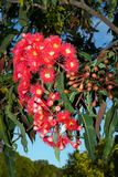 Red Gum Tree Flowers. A mass of red gum tree flowers with bees drinking the nectar. The flowering gums, or eucalyptus trees, are generally found in Australia Stock Photography