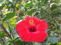 Red Gumamela flower royalty free stock image