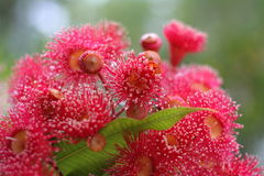 Red Gumnuts. Red gumnut blooms from a eucalyptus tree stock photos