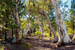 Red Gums hug the dry creek bed Royalty Free Stock Images