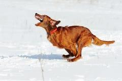 Red gun dog running fast against white snow. Irish red setter running fast against white snow, outdoors, horizontal royalty free stock photos