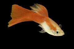 Red guppy isolated tropical aquarium fish Royalty Free Stock Image