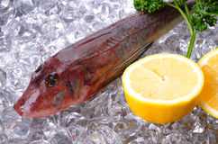 Red gurnard Royalty Free Stock Image