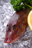 Red gurnard Royalty Free Stock Photo