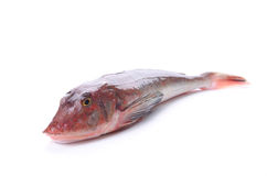 Red gurnard Stock Photography
