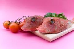 Red Gurnard Fish royalty free stock photography