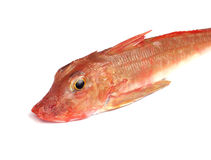 Red Gurnard Fish Stock Image