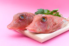 Red Gurnard Fish - Closeup Royalty Free Stock Image