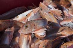 Red gurnard fish Royalty Free Stock Images