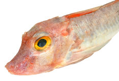 Red Gurnard Fish Royalty Free Stock Photos