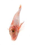 Red Gurnard fish Royalty Free Stock Photography