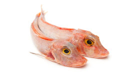 Red Gurnard fish Stock Photography
