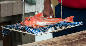 Red Gurnard Royalty Free Stock Images
