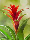Red Guzmania flower, green background, close up. Family Bromeliaceae, subfamily Tillandsioideae Stock Photos