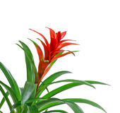 Red Guzmania flower, white background, close up. Family Bromeliaceae, subfamily Tillandsioideae Stock Photo