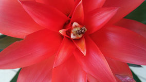 Red Guzmania Ligulata Bromeliad Stock Image