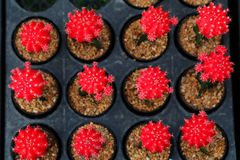 Red Gymnocalycium mihanovichii. Hobby gardening with many of sprout cactus in Nursery garden for sale make money. NHobby gardening with many of sprout cactus in Stock Image