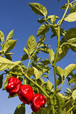 Red Habaneros, a variety of chili pepper (Capsicum chinense) Stock Photo