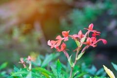 Red Habenaria rhodocheila Hance flower from Thailand Stock Photo