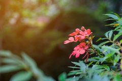 red Habenaria rhodocheila Hance flower from Thailand Royalty Free Stock Photo