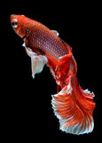 Red haft moon long tail Betta fish Stock Image