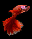 Red haft moon long tail Betta fish Royalty Free Stock Image