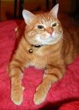 RED HAIR CAT Stock Photos