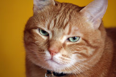 RED HAIR CAT Royalty Free Stock Photo