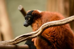Red hair/fur lemur seating on the branch. royalty free stock image
