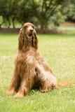 Red Hair Irish Setter Purebred Canine Animal Dog Stock Image