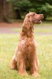 Red Hair Irish Setter Purebred Canine Animal Dog Stock Photos