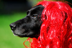 The red hair labrador. Portrait of the red hair labrador stock images