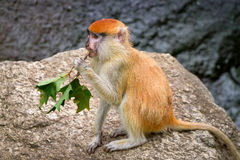 Red hair monkey Royalty Free Stock Images