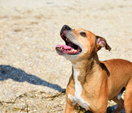 Red-haired American pit bull Royalty Free Stock Photography
