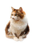 Red-haired cat Stock Photography