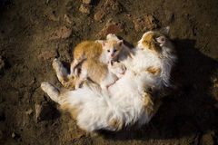 Red-haired cat cuddles with her kittens. Kittens drink mother`s milk. View from above Stock Photo