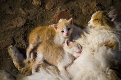 Red-haired cat cuddles with her kittens. Top view royalty free stock image