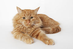 Red-haired cat. Lying down on the white backgound. Close up, look at the camera, domestic cat Stock Images