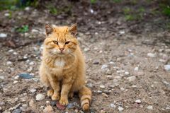 Red haired cat with one eye. Looking at me royalty free stock image