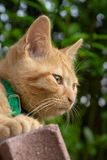 Red Haired cat portrait. Red haired cat sitting in the garden stock images